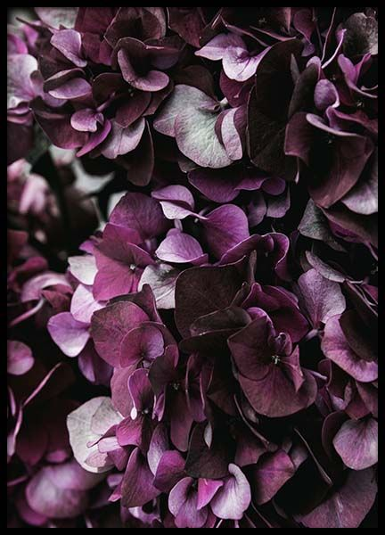 Purple Hydrangea Close Up Poster in the group Prints / Floral at Desenio AB (2825)