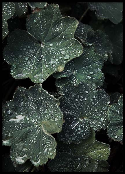 Lady's Mantle Poster in the group Prints / Photographs at Desenio AB (2832)