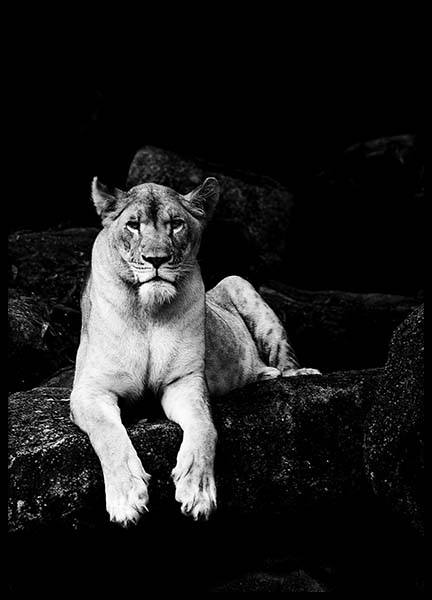 Lioness B&W Poster in the group Prints / Black & white at Desenio AB (2908)