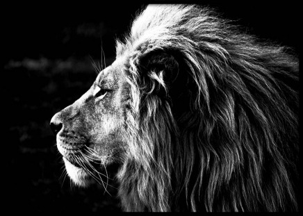 Lion B&W Poster in the group Prints / Black & white at Desenio AB (2909)