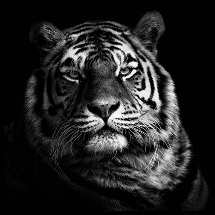 Tiger B&W Poster in the group Prints / Animals at Desenio AB (2913)