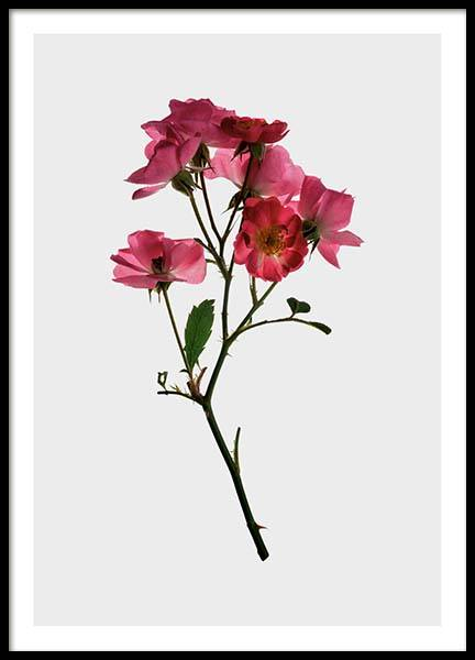 Pink Roses Poster in the group Prints / Sizes / 50x70cm | 20x28 at Desenio AB (2941)