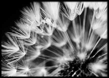 Dandelion Morning Dew Poster in the group Prints / Black & white at Desenio AB (3141)