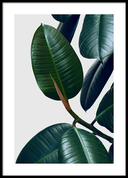 Rubber Plant Two Poster in the group Prints / Photographs at Desenio AB (3338)