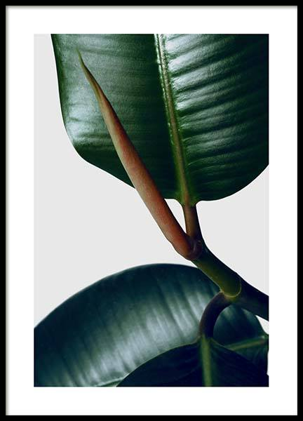 Rubber Plant Three Poster in the group Prints / Photographs at Desenio AB (3339)