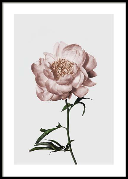 Peony No1 Poster in the group Prints / Floral at Desenio AB (3505)