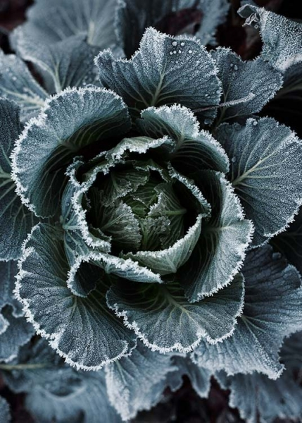 Frosty Cabbage Poster in the group Prints / Floral at Desenio AB (3711)