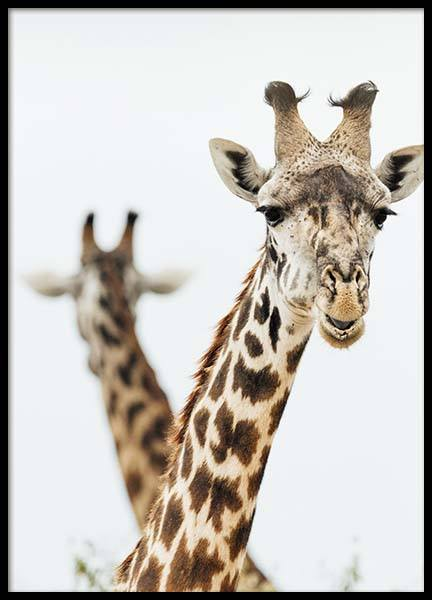 Giraffes Poster in the group Prints / Sizes / 50x70cm | 20x28 at Desenio AB (3744)