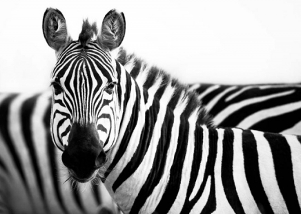 Zebras In Savannah Poster in the group Prints / Black & white at Desenio AB (3854)
