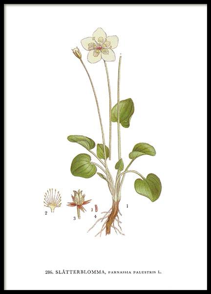 Botanical prints from Nordens Flora, old illustrations of plants