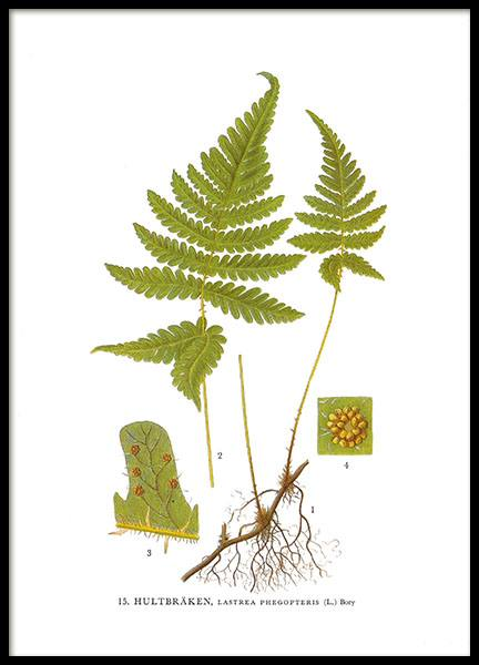 A small framed poster with a fern from Nordens Flora
