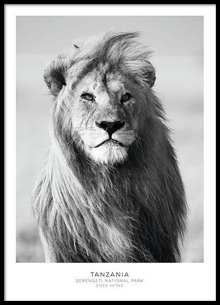 Poster with a black and white photo of a lion for a photograph wall