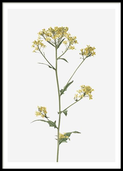 Brassica Flower, Poster in the group Prints / Botanical at Desenio AB (8495)