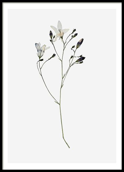 Campanula Flower, Poster in the group Prints / Floral at Desenio AB (8496)