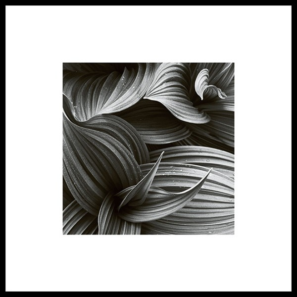 Hellebore, poster in the group Prints / Sizes / 50x50cm | 20x20 at Desenio AB (8498)