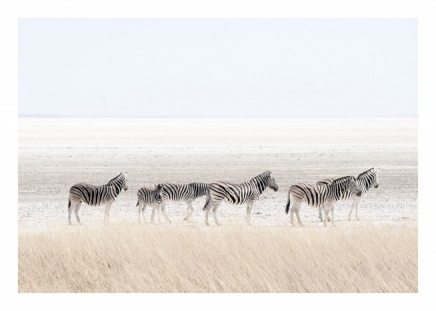 Zebras, Posters in the group Prints / Animals at Desenio AB (8537)