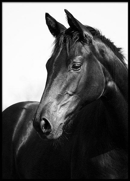 Black Stallion, Posters in the group Prints / Photographs at Desenio AB (8575)
