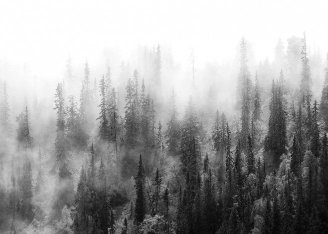 - Mysterious photo of a misty pine forest in black and white.