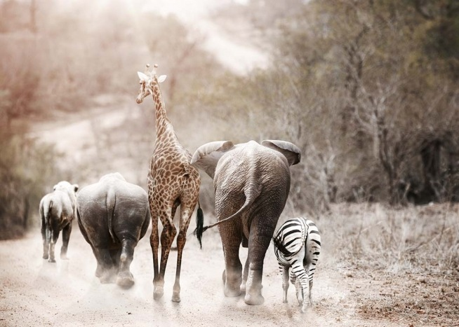 - Photo poster with the animals of Africa running together.