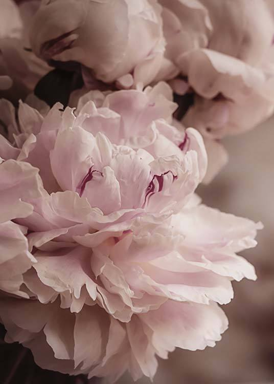 Blooming Peony Poster / Photographs at Desenio AB (10561)