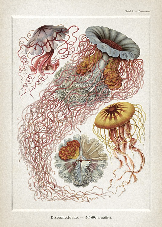 - Vintage poster with drawings of different types of jellyfish.
