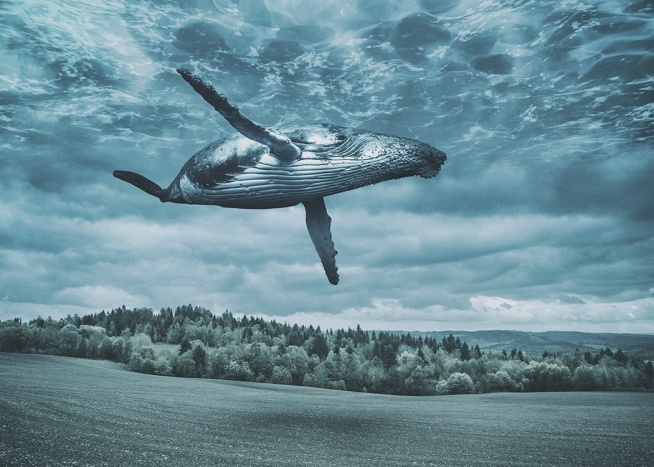 - Creative photo montage of a flying whale above a field landscape in blue colours.