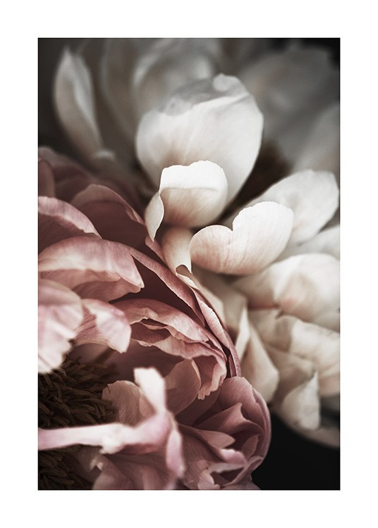 Pink and White Peony Poster / Photographs at Desenio AB (10989)