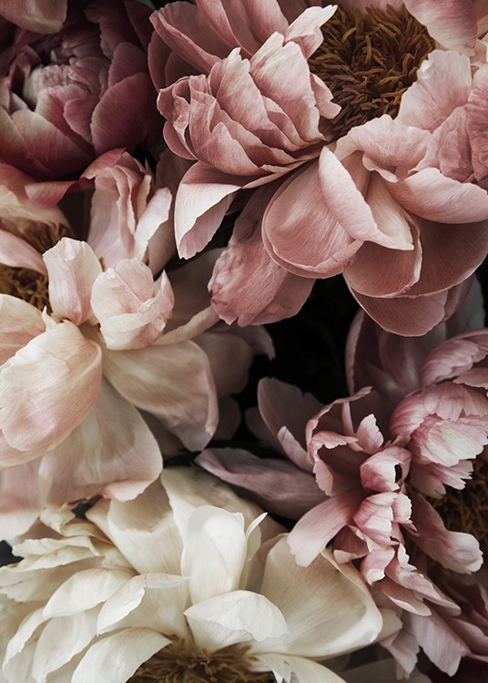 – Floral photograph with a bunch of pink and white peonies in full bloom