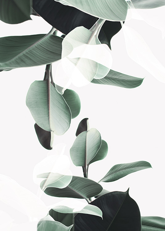 - Modern plant poster with a rubber fig in duplicate.