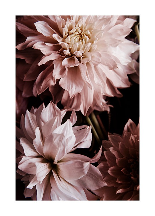 A Pair of Dahlias Poster / Photographs at Desenio AB (11503)