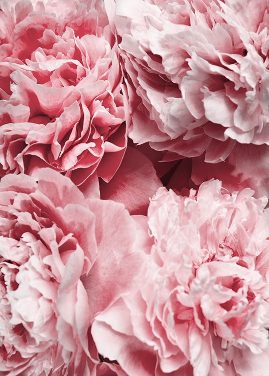 Peony Flowers Poster / Photographs at Desenio AB (12110)