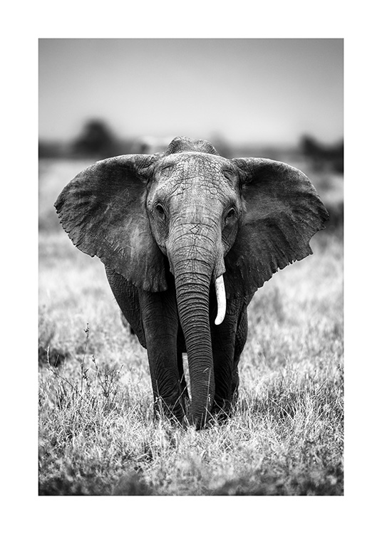 Elephant on the Savanna Poster / Black & white at Desenio AB (12301)
