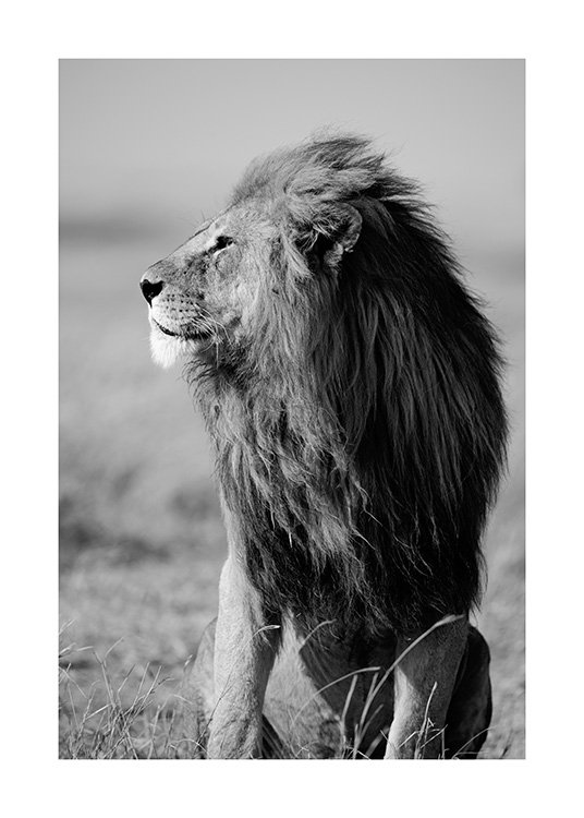 Lion in the Wild Poster / Black & white at Desenio AB (12304)