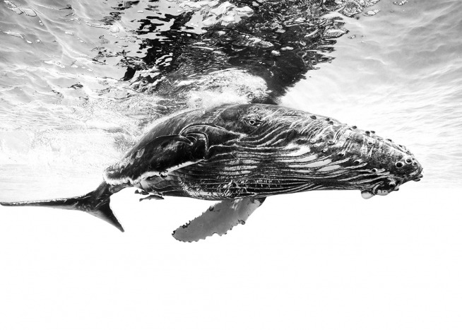 Humpback Whale B&W Poster / Black & white at Desenio AB (12306)