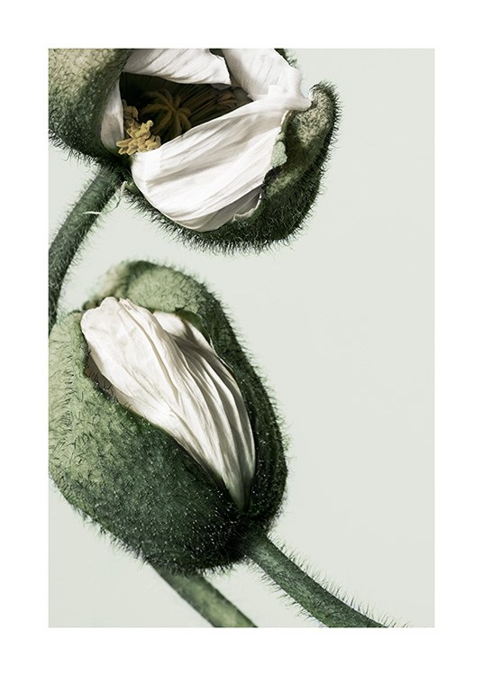 White Poppy Buds Poster / Photographs at Desenio AB (12320)
