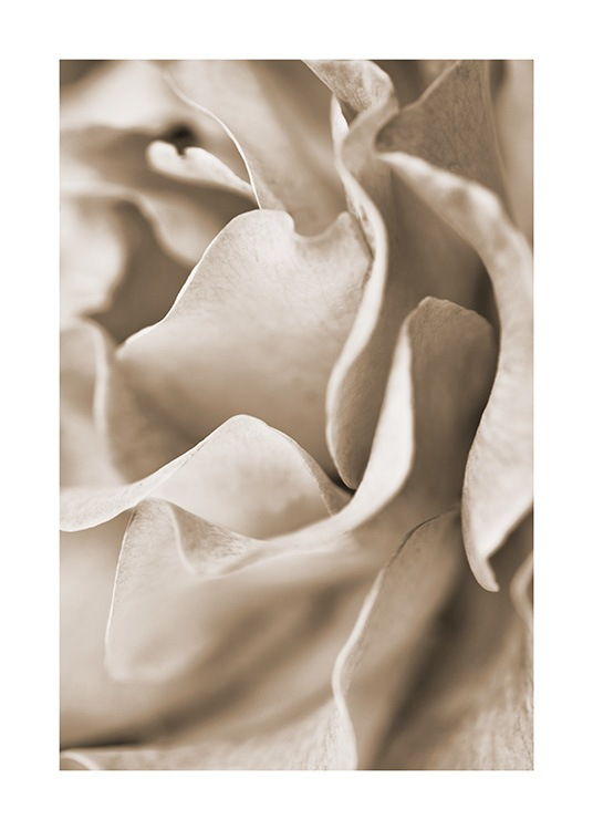 - Close up of a rose with beige petals