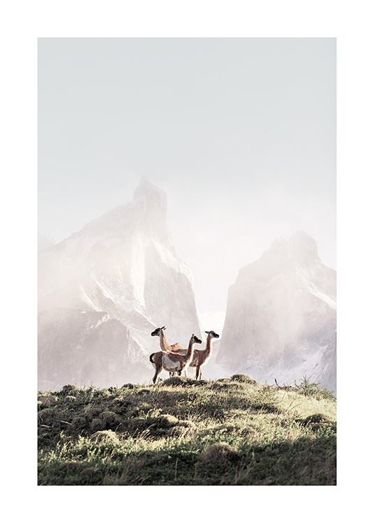 - Nature print with three guanacos standing together on a grass hill with mountains in the background, covered in fog