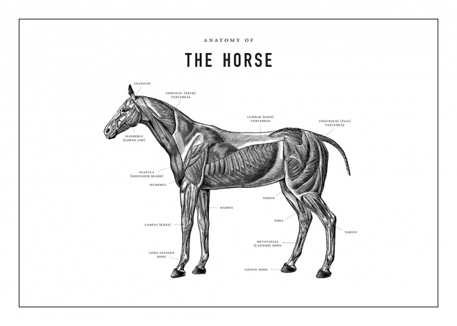 Horse Anatomy Poster / Illustrations at Desenio AB (13732)