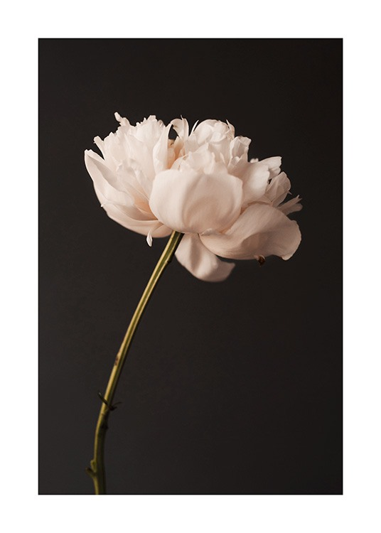 – Photograph of a pink peony in full bloom against a black background
