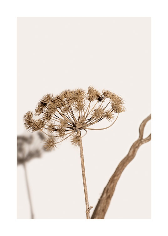 – Photograph of a wilted plant with brown flowers against a light beige background