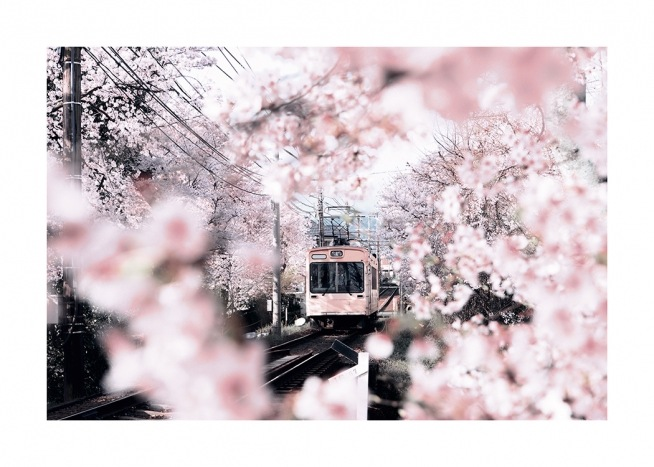 – Photograph of cherry blossoms and cherry trees surrounding a pink tram