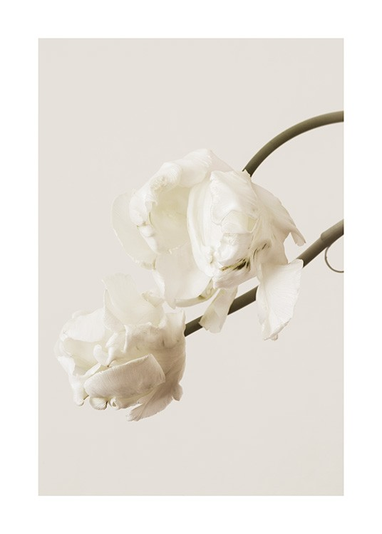 – Photograph of a pair of white tulips against a light beige background