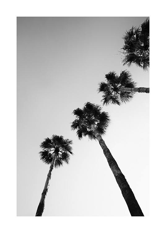 – Black and white photograph of a line of palm trees seen from below