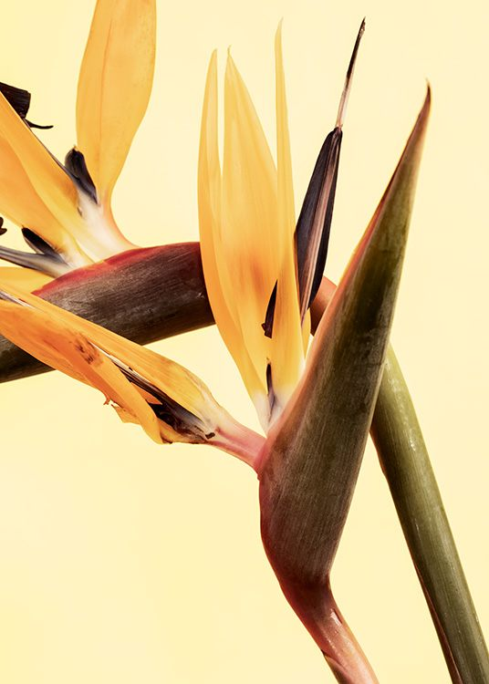 – Close up photograph of bird of paradise flowers in yellow, against a light yellow background