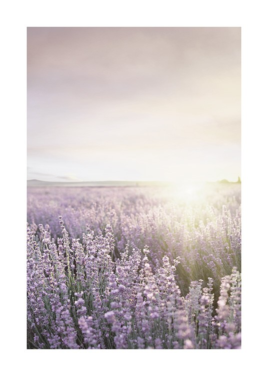 – Photograph of a field filled with purple lavender flowers, with a sun in the background