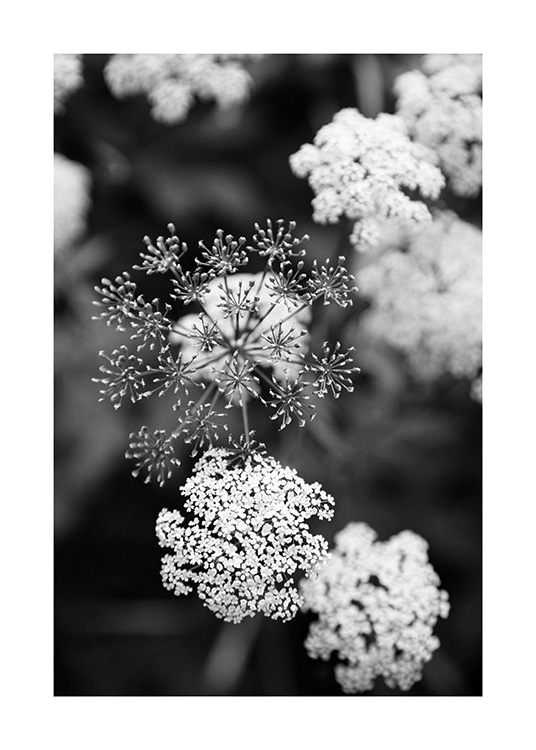 – Black and white photograph of small, white flowers with a blurry background
