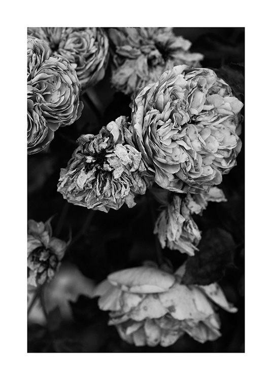 – Black and white photograph of a bundle of roses