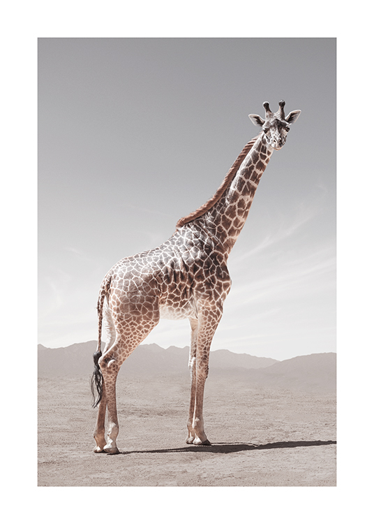 – Photograph of a giraffe looking from the side, standing in the desert