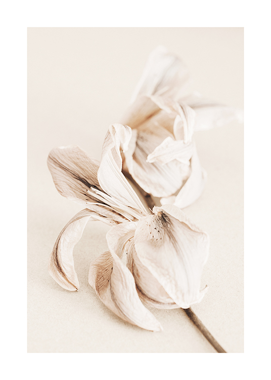 – Photograph of a lily in beige and white with a background in light beige