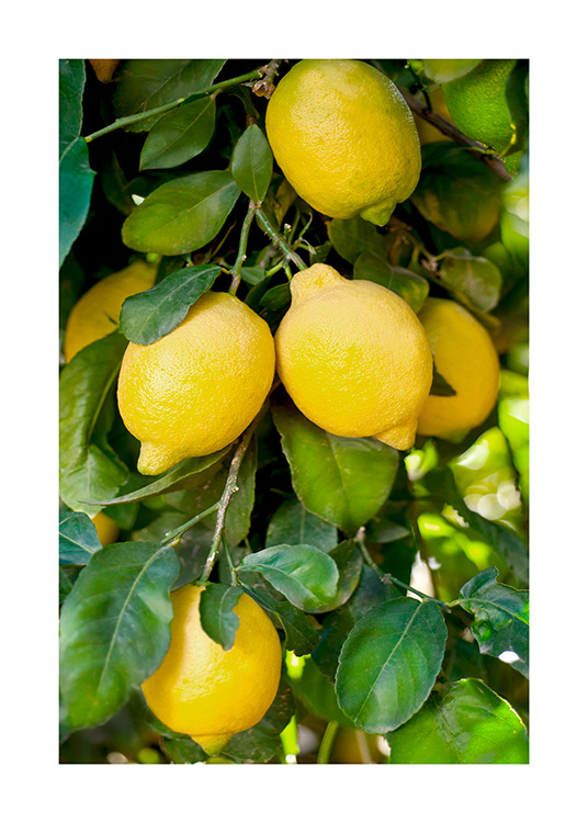 – Photograph of a bunch of yellow lemons and green leaves